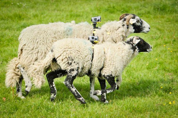 sheepcam