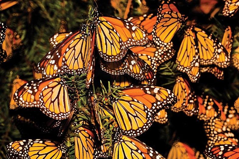 Butterflynet
