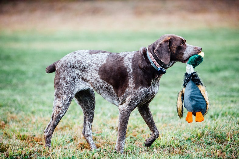 hunting dog with stuffed duck