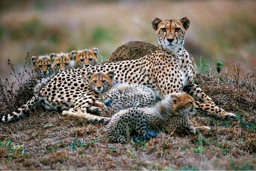 """""""Cheetahs"""""""