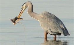 Amateur Photographer Captures First Proof That Herons Eat Stingrays