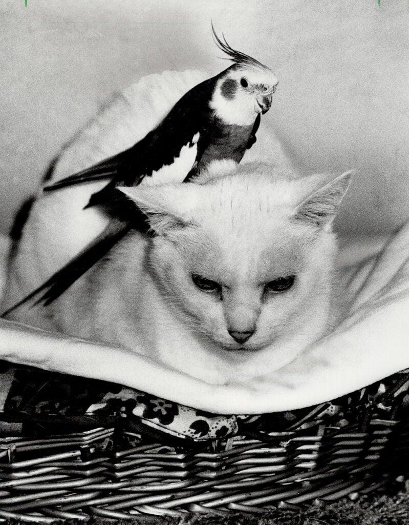 cockatiel on white cats head