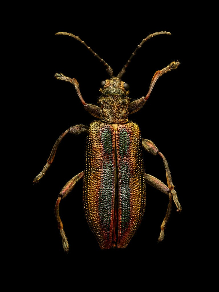 Common reed beetle