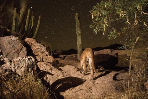 """""""Capturing-the-Big-Cat-A-mountain-lion-at-the-seco"""""""