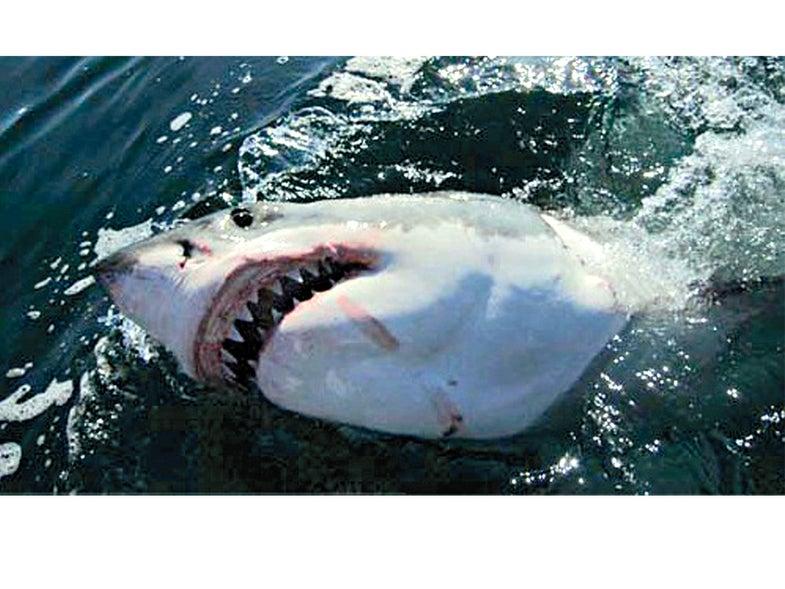 Shark-5