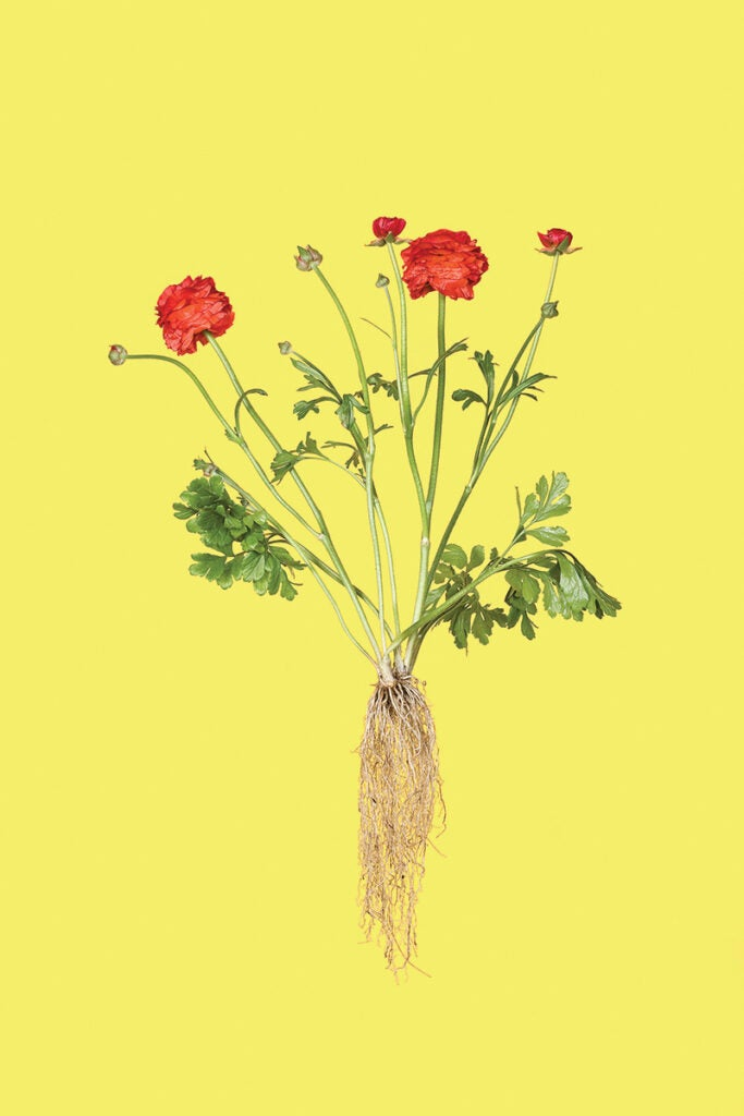 """""""Ranunculus"""""""