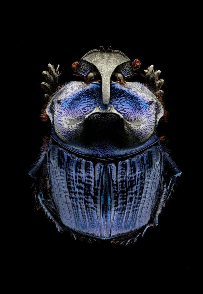 Amazonian purple warrior scarab