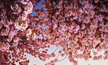 How To: Photograph Washington D.C.'s Infamous Cherry Blossoms