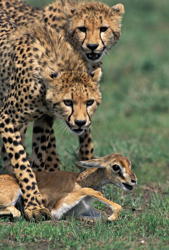 """""""Cheetahs"""