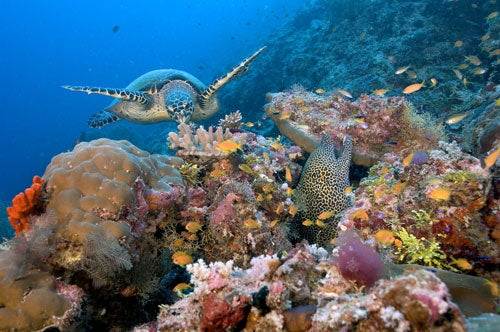 """""""Turtle-and-honeycomb-moray-South-Male-Atoll-Ma"""""""
