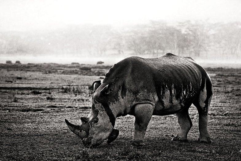 White Rhinoceros, Lake Nakuru National Park, Kenya