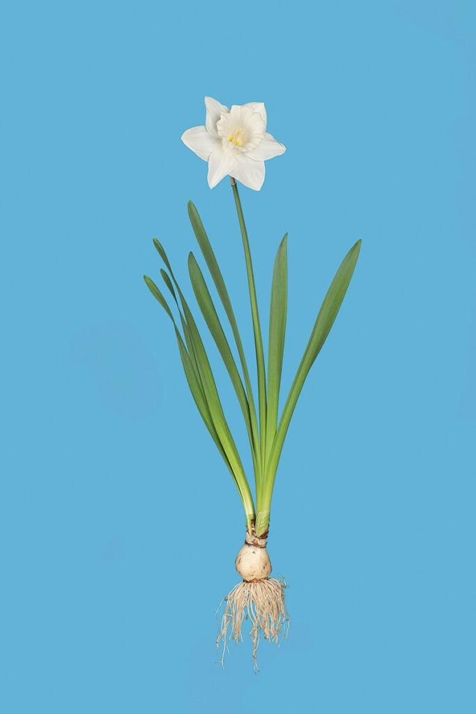 """""""Daffodil"""""""