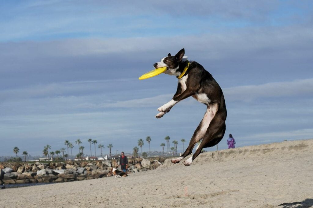 dog catching Frisbee on the beach