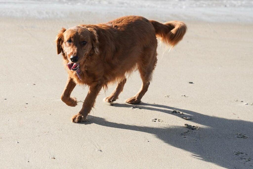 retriever on the beach