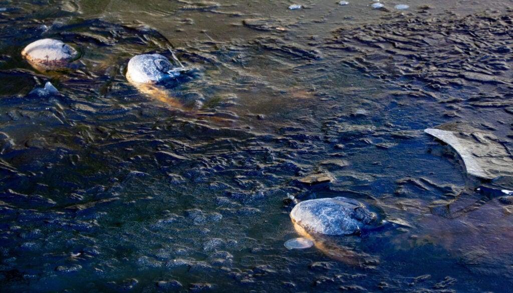 three gator snouts poke out of frozen water