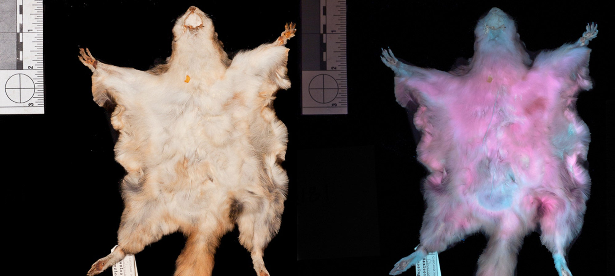These flying squirrels fluoresce hot pink, and no one knows exactly why