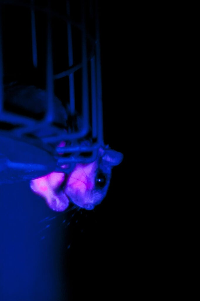 fluorescent flying squirrel