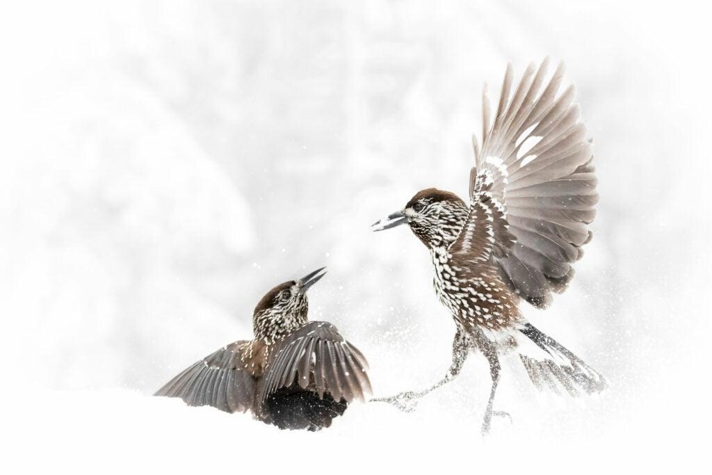 two birds fighting