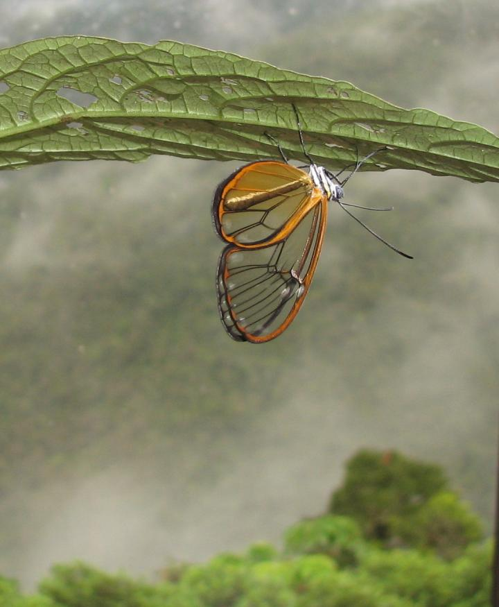 Clearwing butterfly toxin species photograph award winning