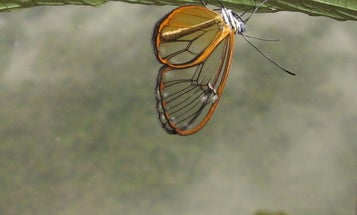 This butterfly's wings are transparently toxic