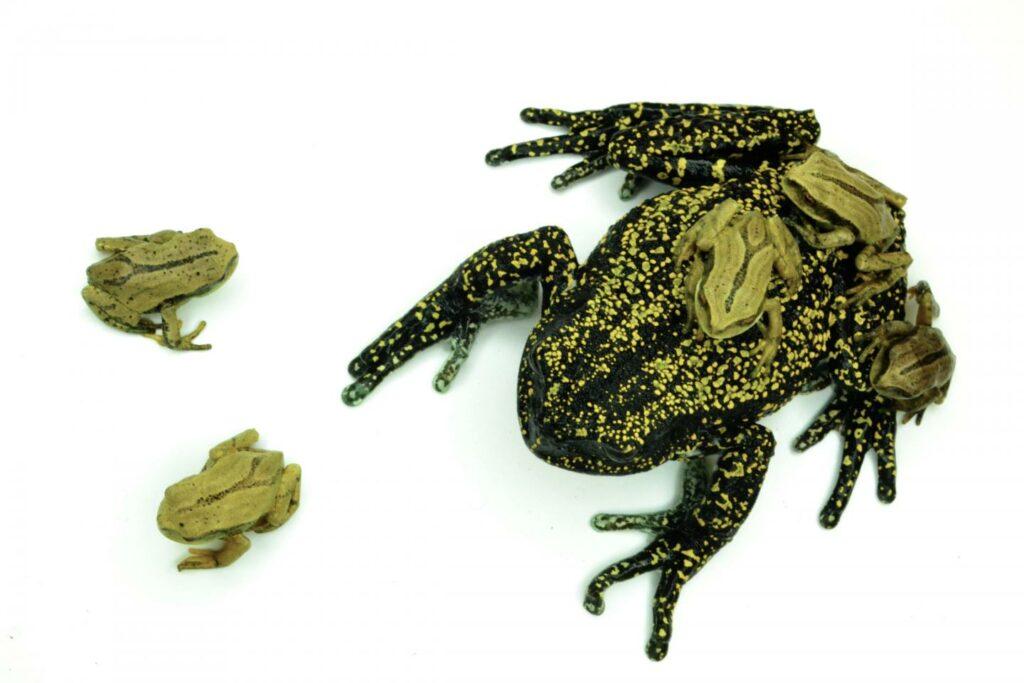 Heena's marsupial frog