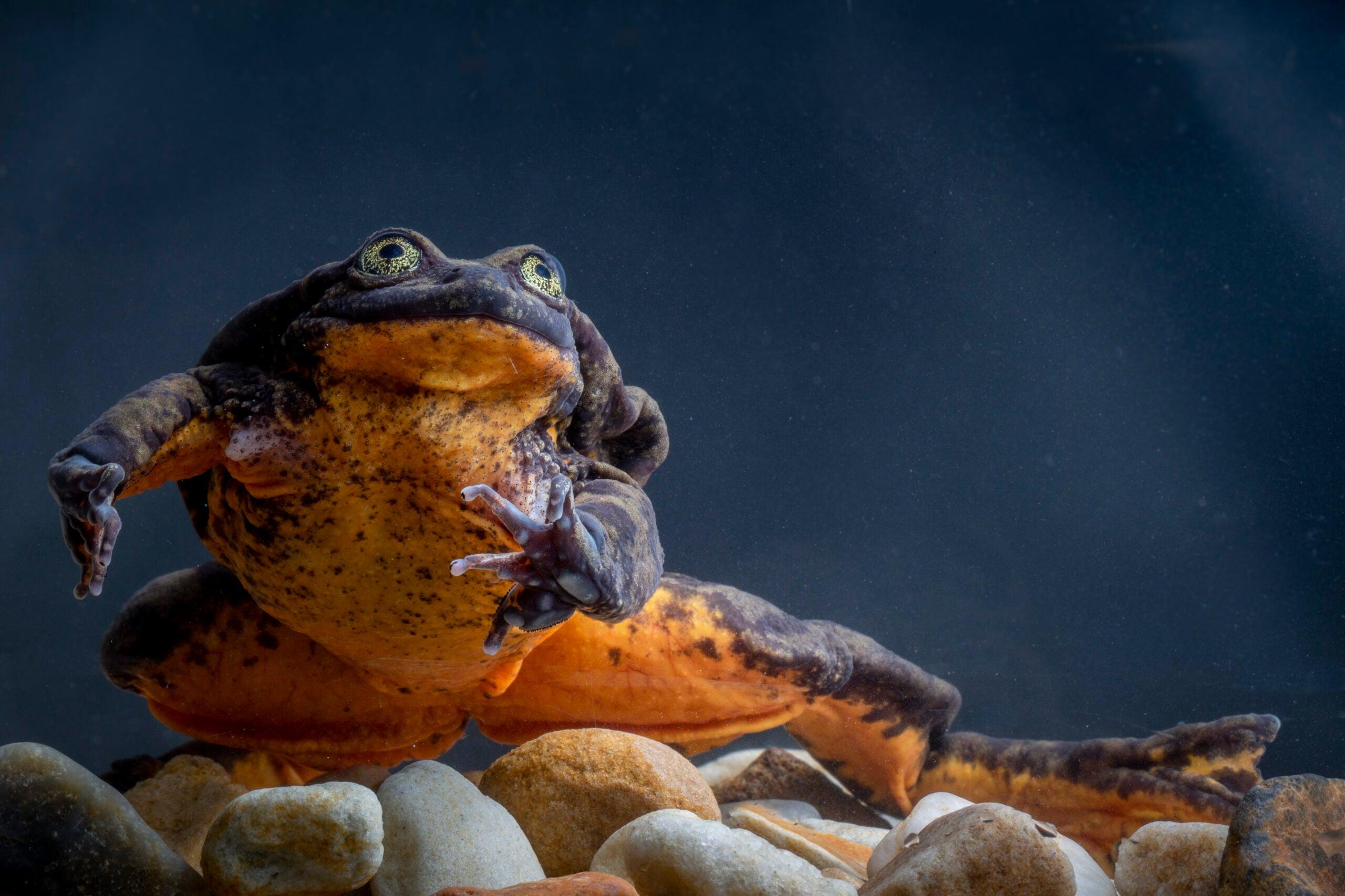 Mini frog, two frog, pumpkin frog, new frog