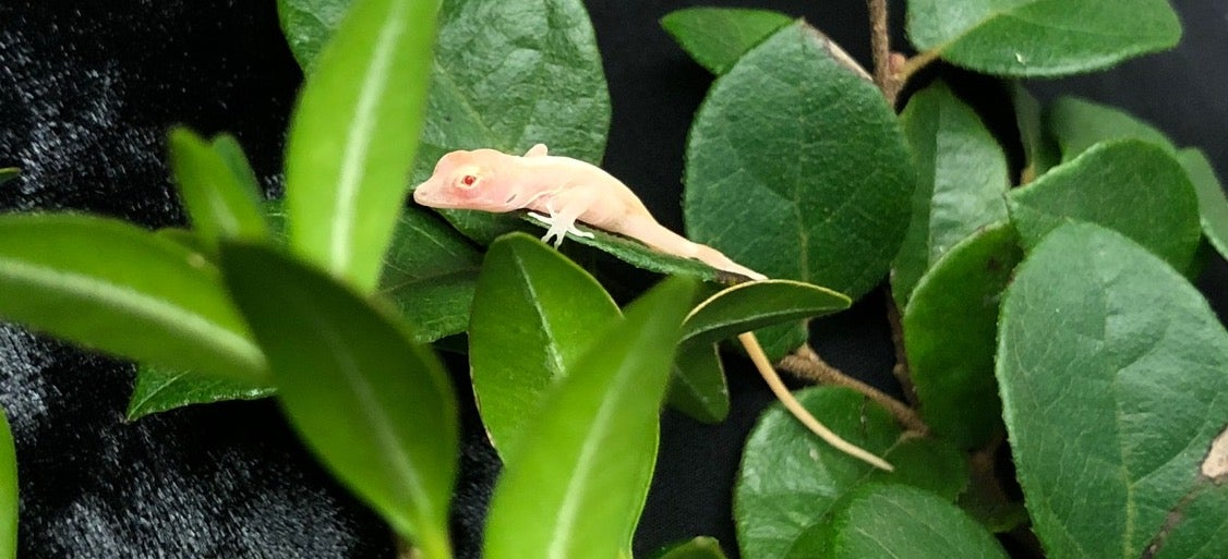 CRISPR turned these lizards into ghosts