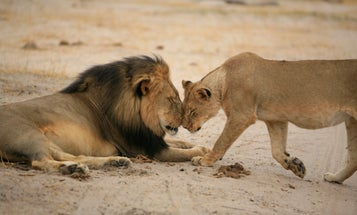 Picturing the Life of Cecil the Lion