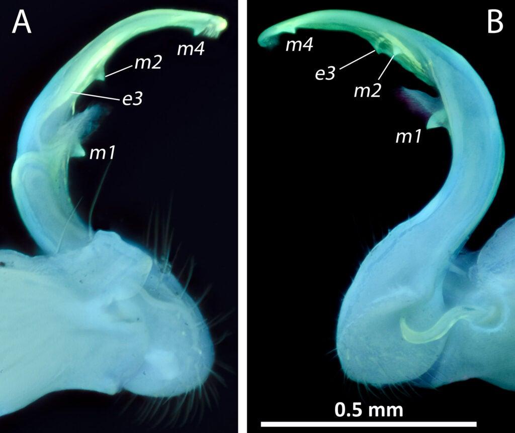 millipede genitals