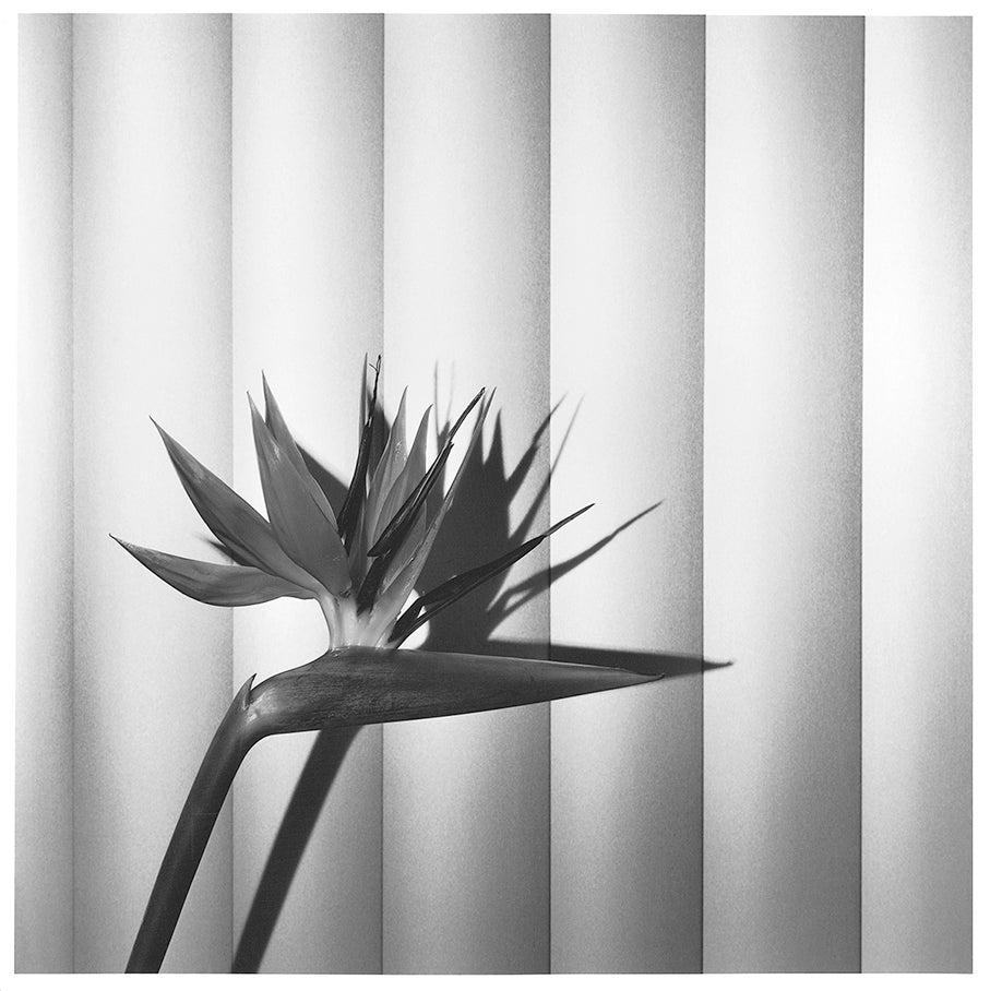 © Robert Mapplethorpe Foundation. Mapplethorpe Flora: The Complete Flowers, Phaidon