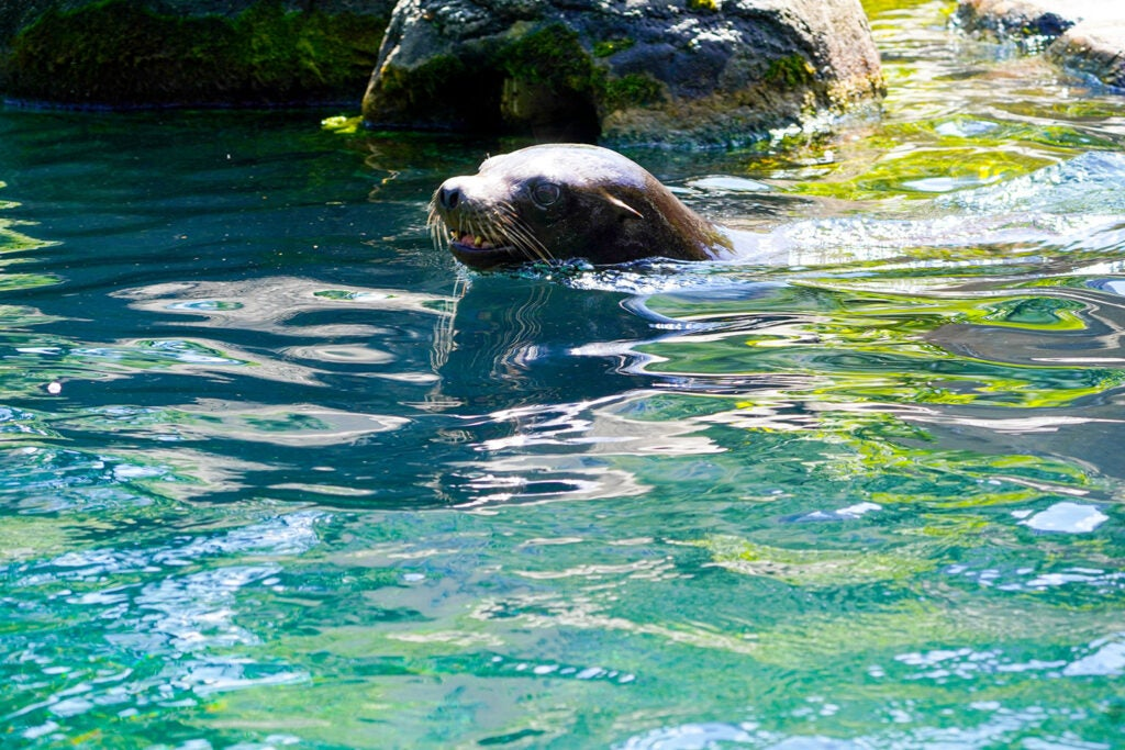 seal peeking out of the water