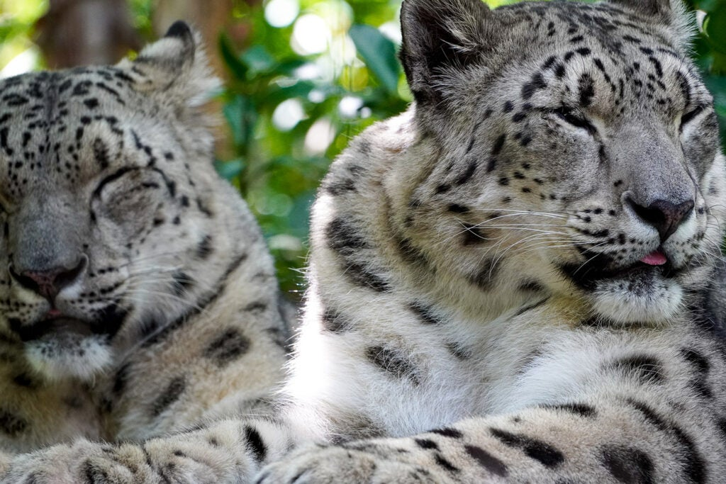two white leopards