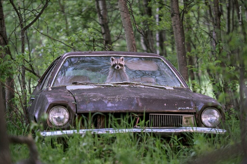 A female raccoon poking her head out of the windshield of an abandoned car