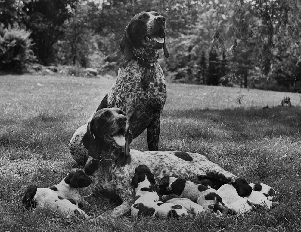 vintage photo of dogs and their puppies