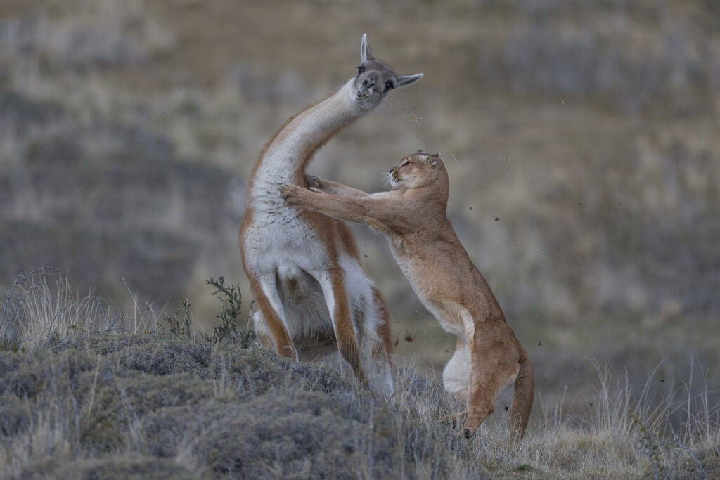 A puma attaching a guanaco