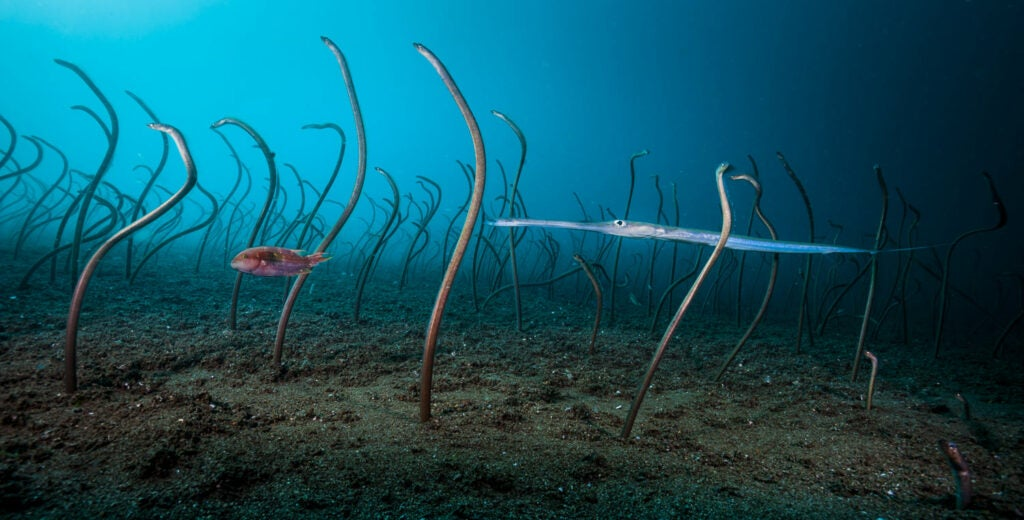 Colony of garden eels