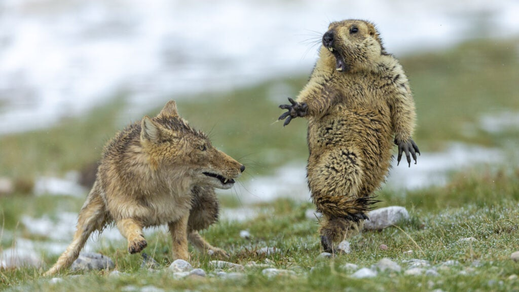 A fox attacking a marmot