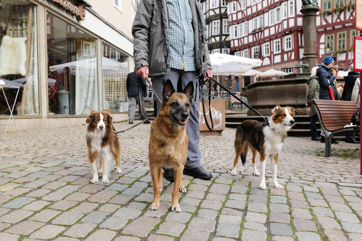 dogs being walked on cobblestone street