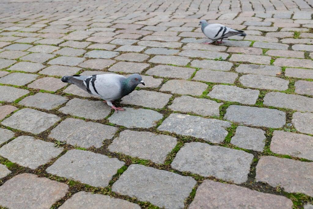 pigeons on the cobblestones