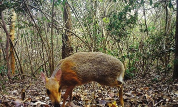 What looks like a deer, is the size of a rabbit, and was just photographed for the first time in decades?