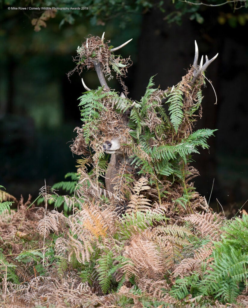 Male deer covered in ferns