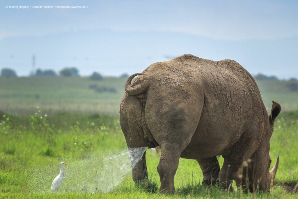 Rhino peeing on a cattle egret