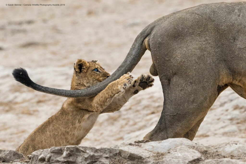 Lion cub reaching for a mammal's testicles