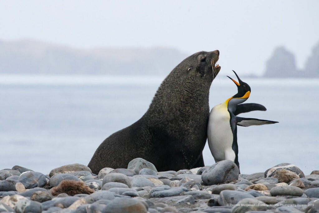 Sea lion facing off with an emperor penguin