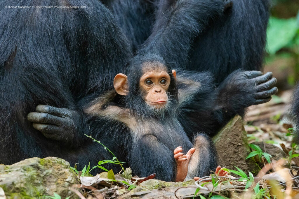 Baby chimp leaning back on adults