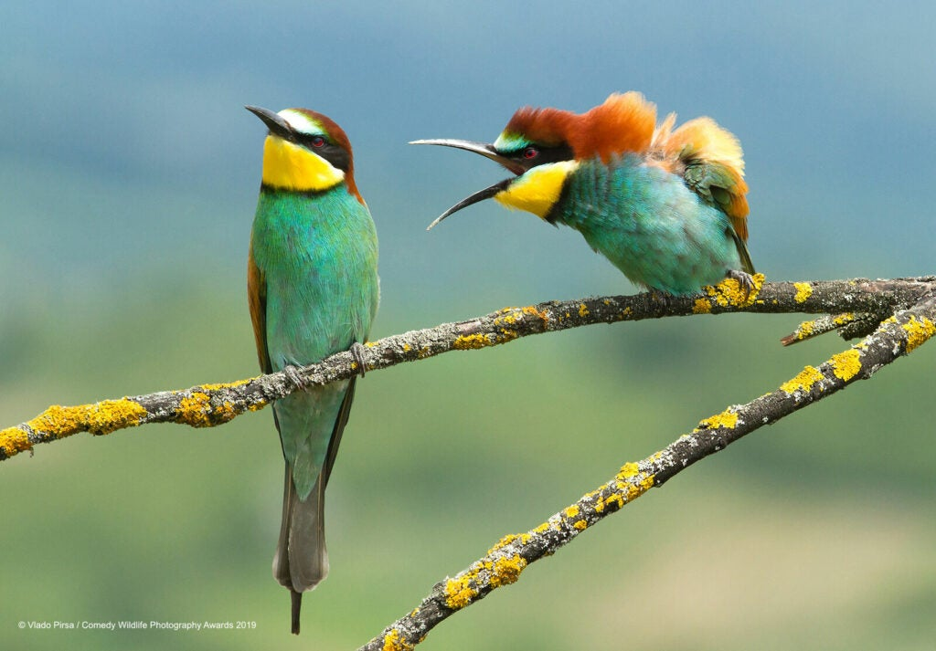 Bee-eaters perched next to each other