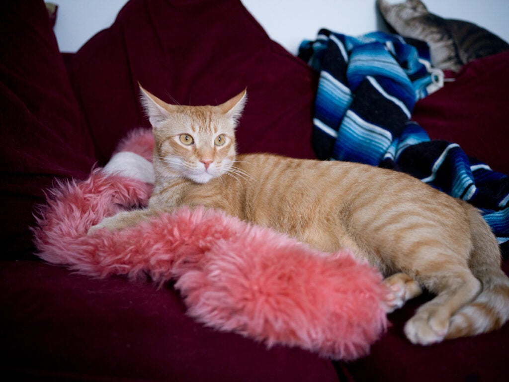 orange cat on furry pink pillow