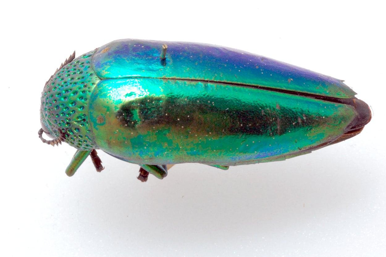 Jewel beetle.