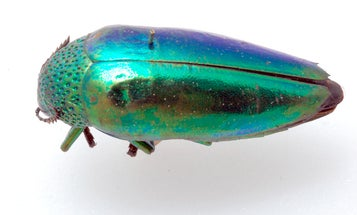 To remain hidden, these beetles sparkle like gems