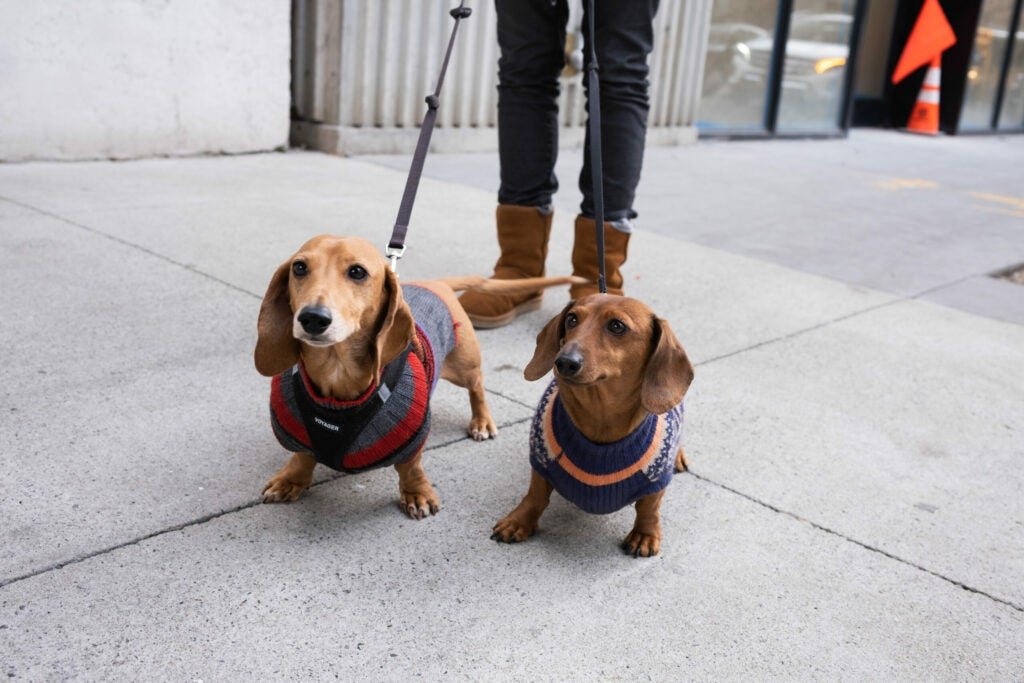 Two dachshunds in sweaters
